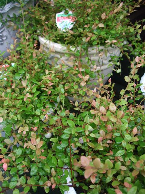 オークリーフ(バラの季節です)_f0049672_17122235.jpg