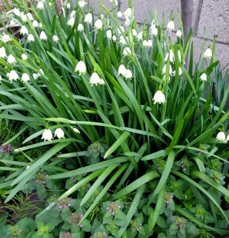スノーフレークの花と、ベゴニア・サザーランディの植え替え_a0136293_19162940.jpg