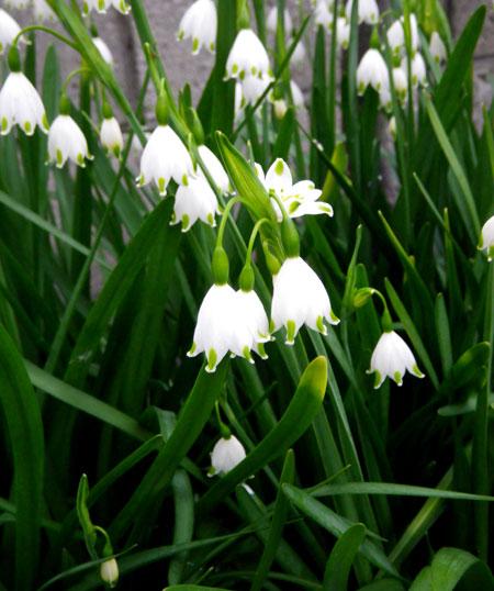 スノーフレークの花と、ベゴニア・サザーランディの植え替え_a0136293_192377.jpg