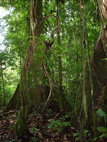 ボルネオ島の低地熱帯多雨林