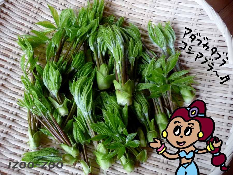 山菜コシアブラ_c0223095_17234127.jpg