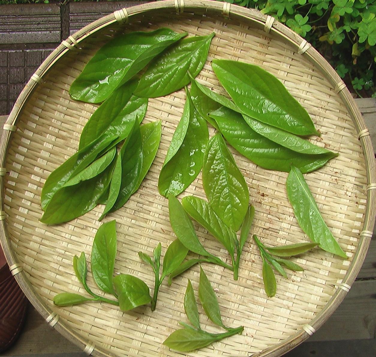 柿の葉天ぷら_e0094102_1219289.jpg