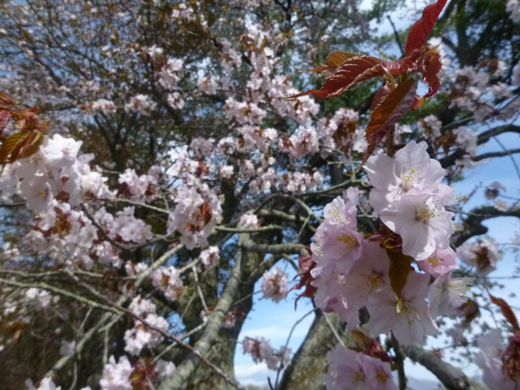 1543)①「静内 二十間道路桜並木 五分咲き 2011年5月11日(水) 晴」_f0126829_1055498.jpg
