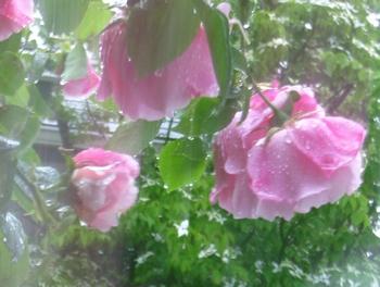 雨のツルバラ_c0134734_1554318.jpg
