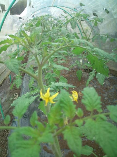 今競って咲いている野菜達_c0222448_10222180.jpg