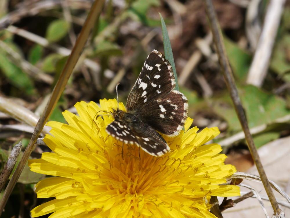 チャマダラセセリ  ♂の翅裏画像は叶わず。  2011.5.6長野県_a0146869_6161016.jpg