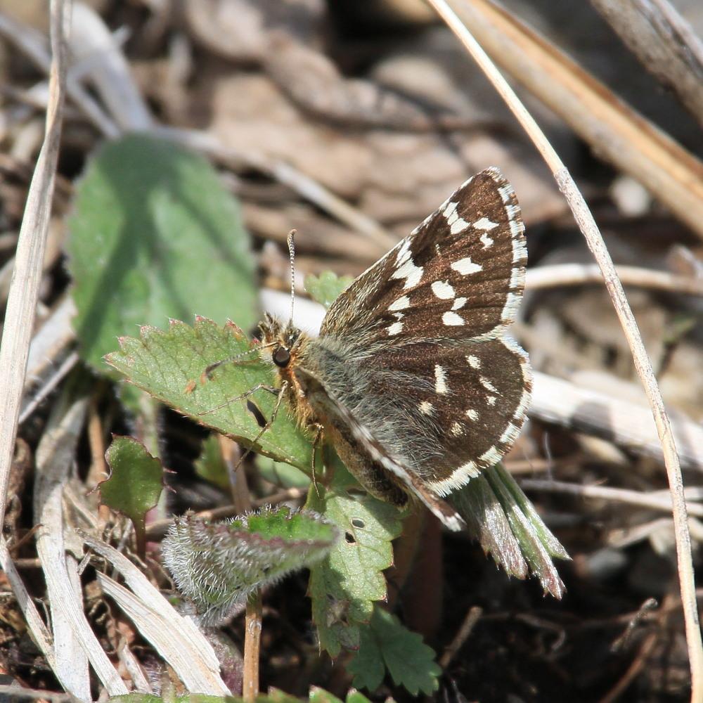 チャマダラセセリ  ♂の翅裏画像は叶わず。  2011.5.6長野県_a0146869_6164319.jpg