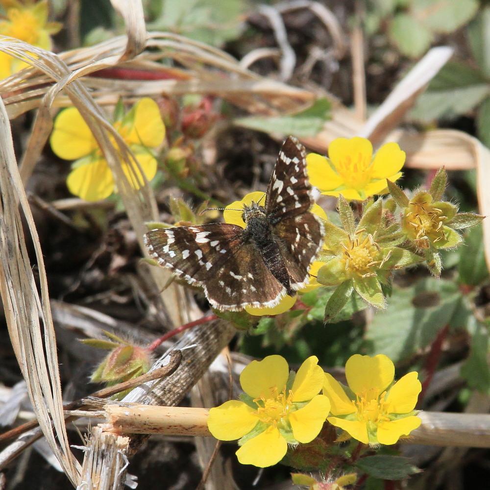 チャマダラセセリ  ♂の翅裏画像は叶わず。  2011.5.6長野県_a0146869_6165816.jpg