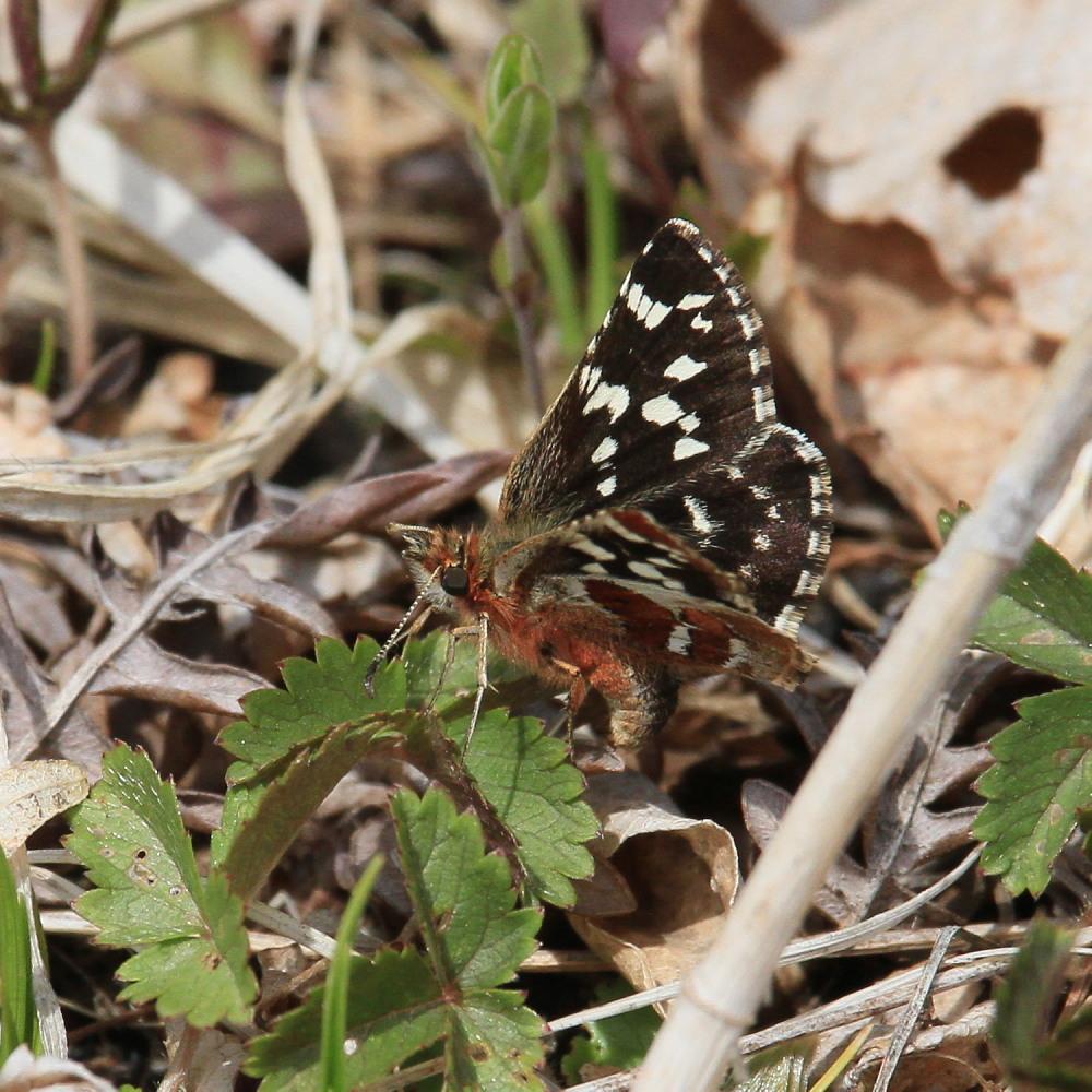 チャマダラセセリ  ♂の翅裏画像は叶わず。  2011.5.6長野県_a0146869_6172423.jpg