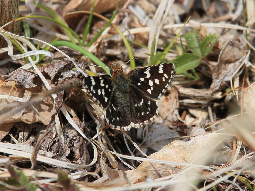 チャマダラセセリ  ♂の翅裏画像は叶わず。  2011.5.6長野県_a0146869_6173978.jpg