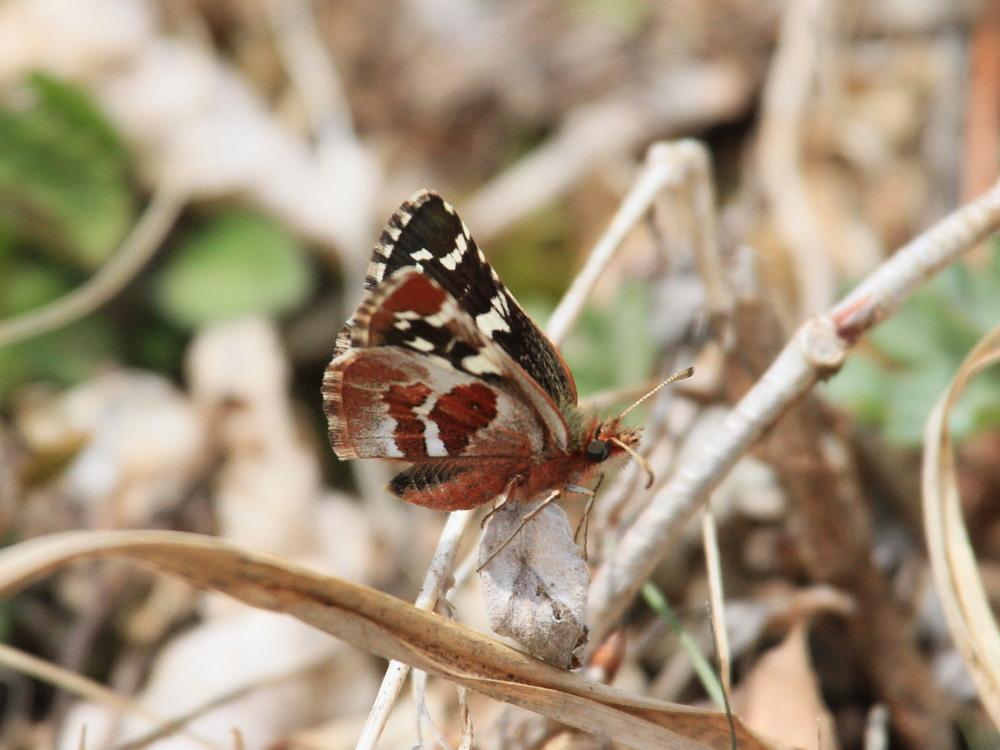 チャマダラセセリ  ♂の翅裏画像は叶わず。  2011.5.6長野県_a0146869_61826100.jpg
