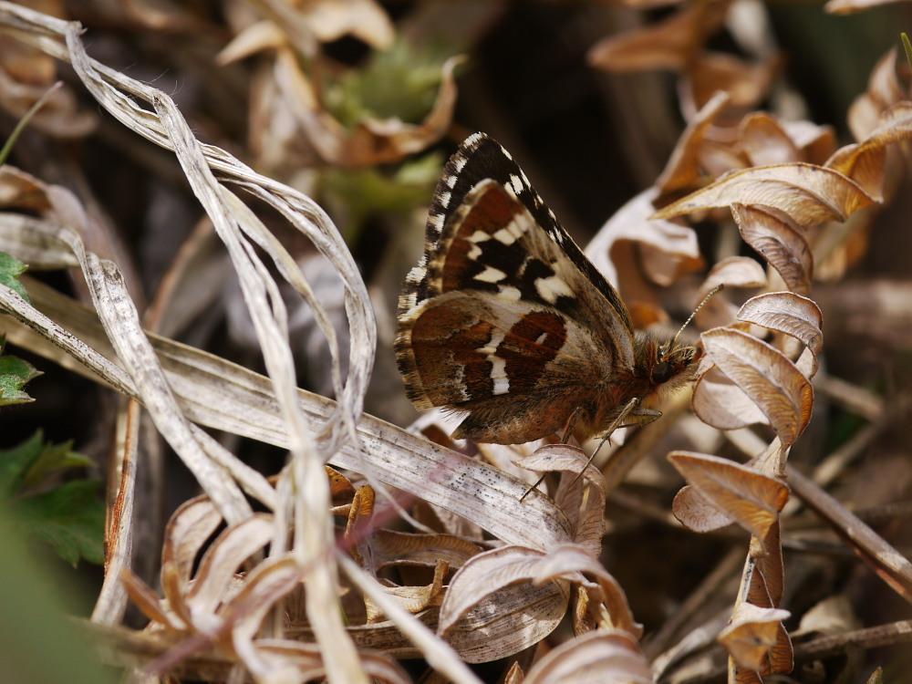 チャマダラセセリ  ♂の翅裏画像は叶わず。  2011.5.6長野県_a0146869_6184731.jpg