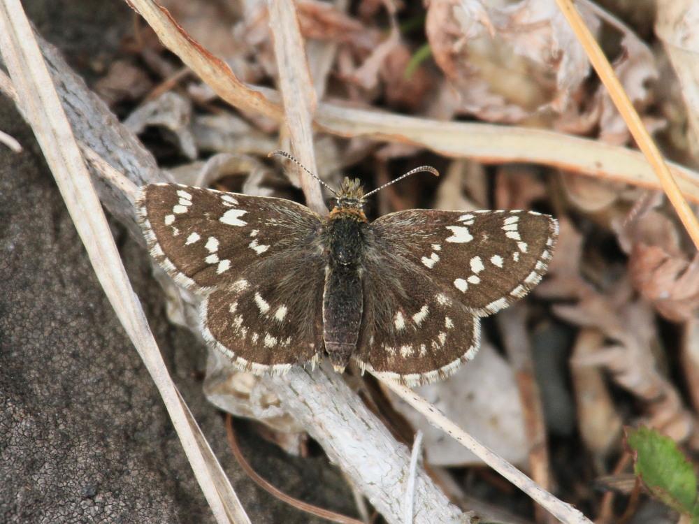 チャマダラセセリ  ♂の翅裏画像は叶わず。  2011.5.6長野県_a0146869_620252.jpg