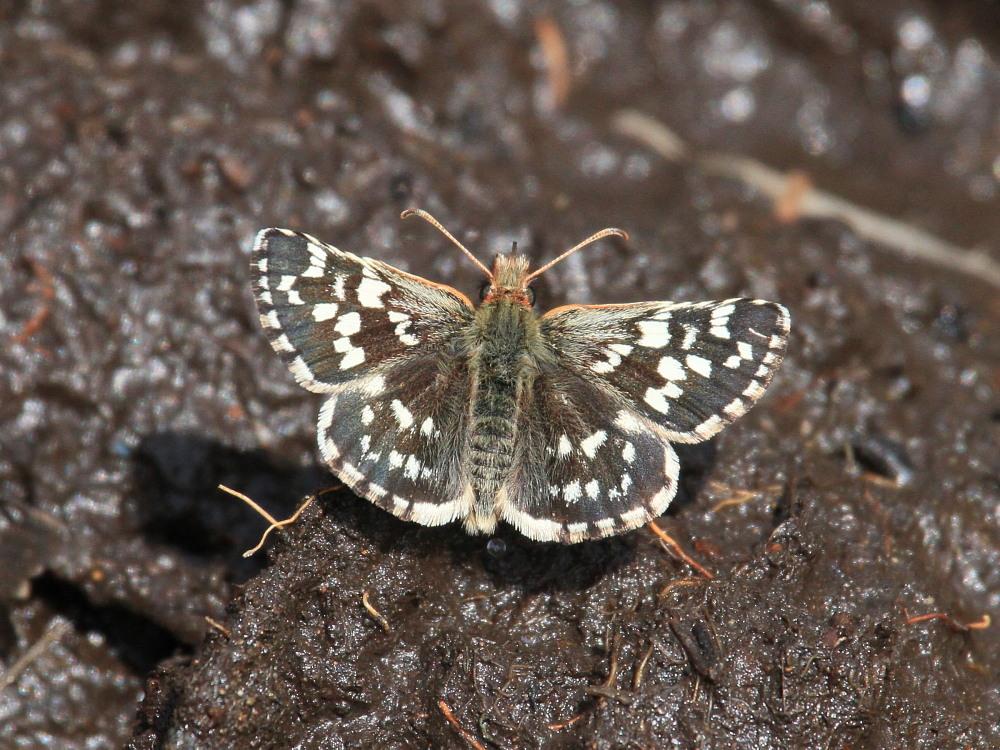 チャマダラセセリ  ♂の翅裏画像は叶わず。  2011.5.6長野県_a0146869_6205679.jpg