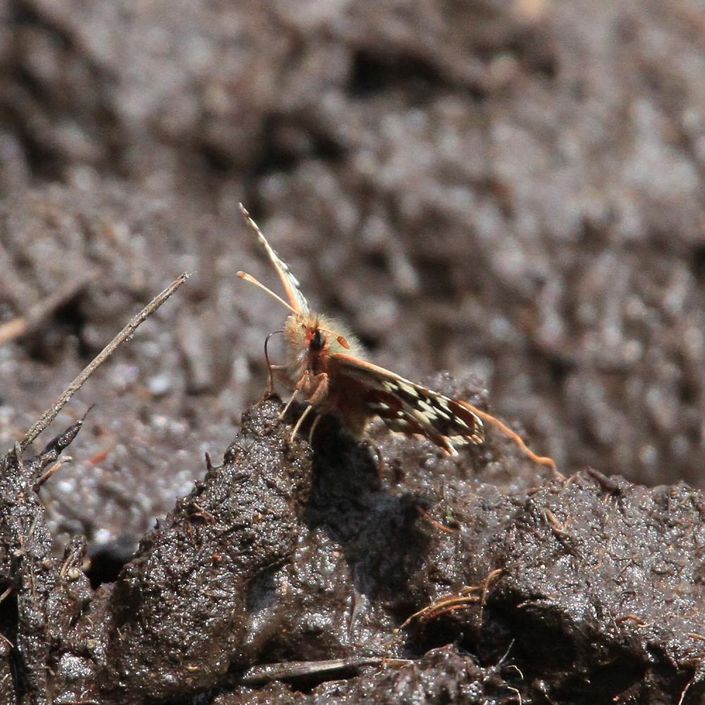 チャマダラセセリ  ♂の翅裏画像は叶わず。  2011.5.6長野県_a0146869_6211195.jpg