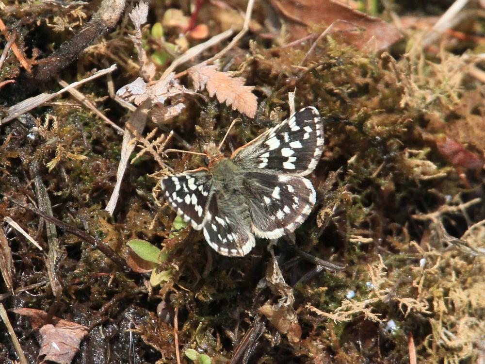 チャマダラセセリ  ♂の翅裏画像は叶わず。  2011.5.6長野県_a0146869_621325.jpg