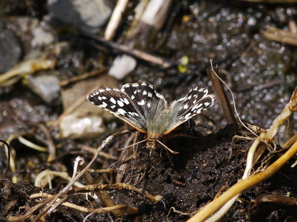 チャマダラセセリ  ♂の翅裏画像は叶わず。  2011.5.6長野県_a0146869_6215441.jpg