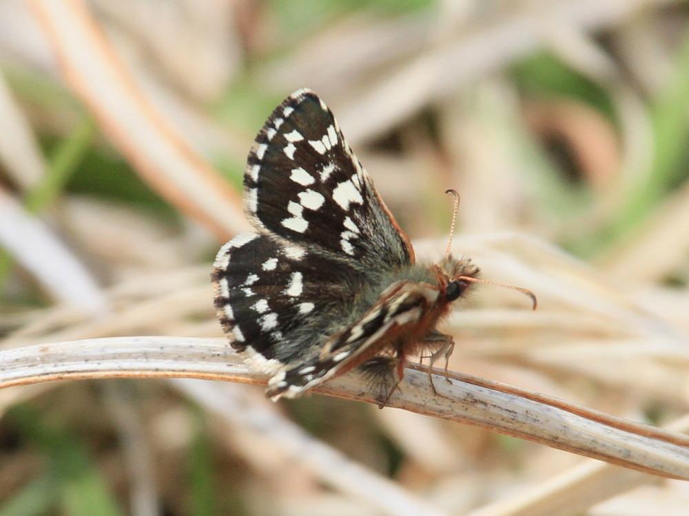 チャマダラセセリ  ♂の翅裏画像は叶わず。  2011.5.6長野県_a0146869_6221794.jpg