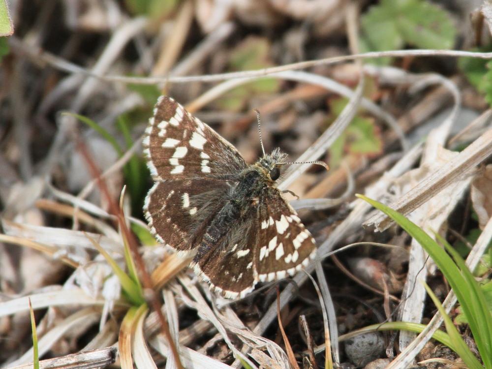 チャマダラセセリ  ♂の翅裏画像は叶わず。  2011.5.6長野県_a0146869_6225552.jpg