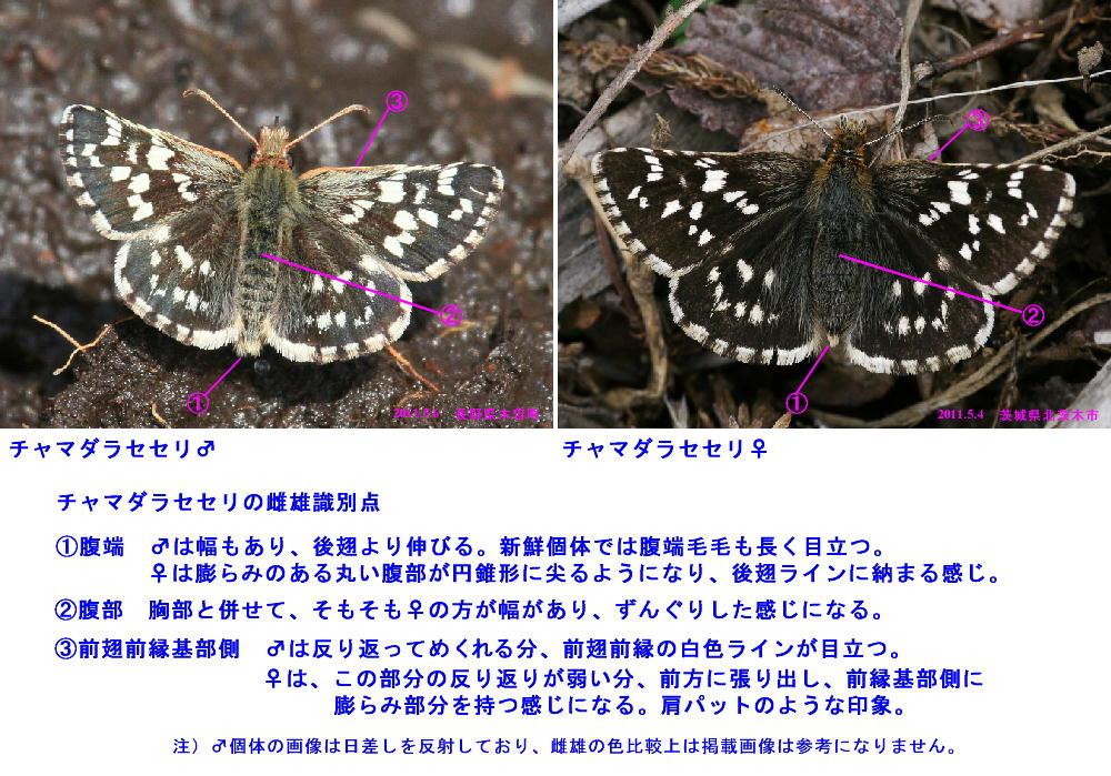 チャマダラセセリ  ♂の翅裏画像は叶わず。  2011.5.6長野県_a0146869_6252116.jpg