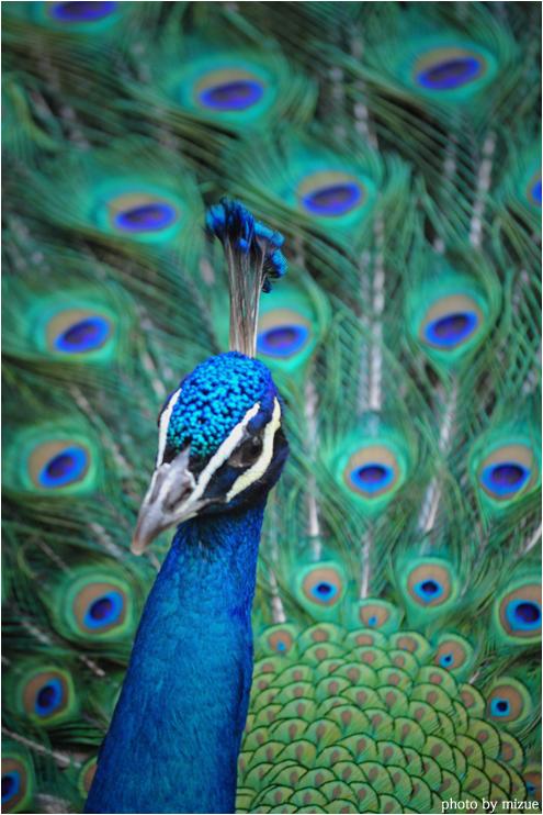 一般的なクジャク、インドクジャクも恋の季節です。カーニバルのダンサーを思... インドクジャク