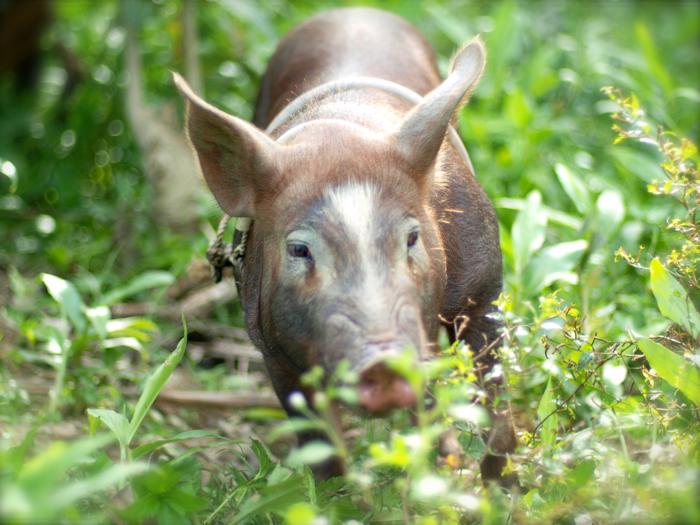 Mindoro Native Pig_e0202828_2112340.jpg