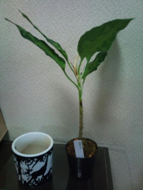 『神ノ木トリカラー』株分け_e0213248_2036428.jpg