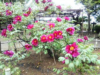須賀川牡丹園_c0055363_18122039.jpg