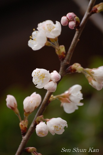 さくらんぼ(暖地桜桃)_a0164068_121588.jpg