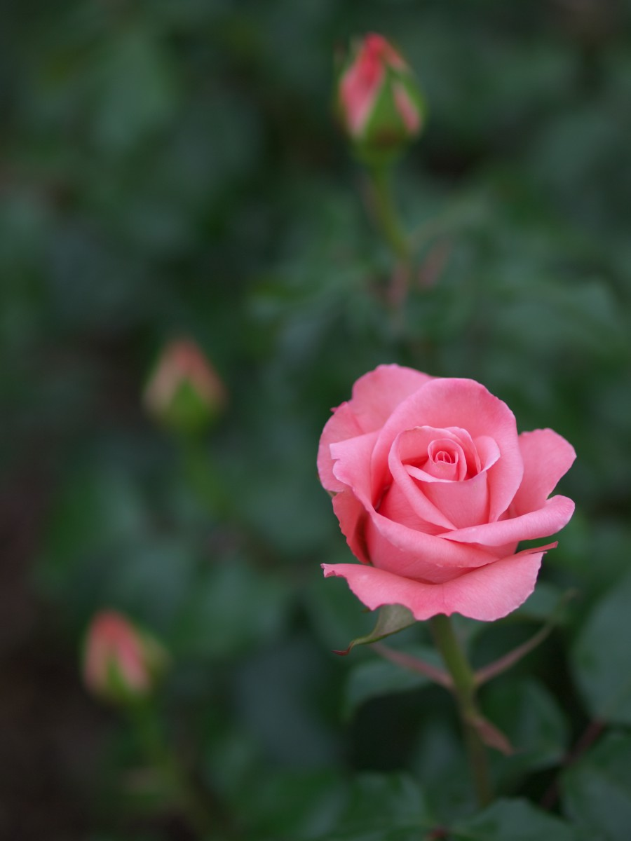 薔薇_f0021869_0112199.jpg
