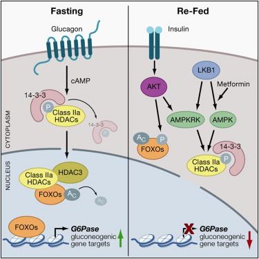 src kinase steroid receptor coactivator