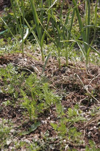 食べたら植えるのリズム~5月の畑_f0106597_18374768.jpg