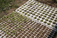 食べたら植えるのリズム~5月の畑_f0106597_18445643.jpg