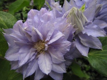 雌しべ、雄しべが存在します。この花は雄しべが少ないけど他の花は結構雄しべ... テッセンの交配開