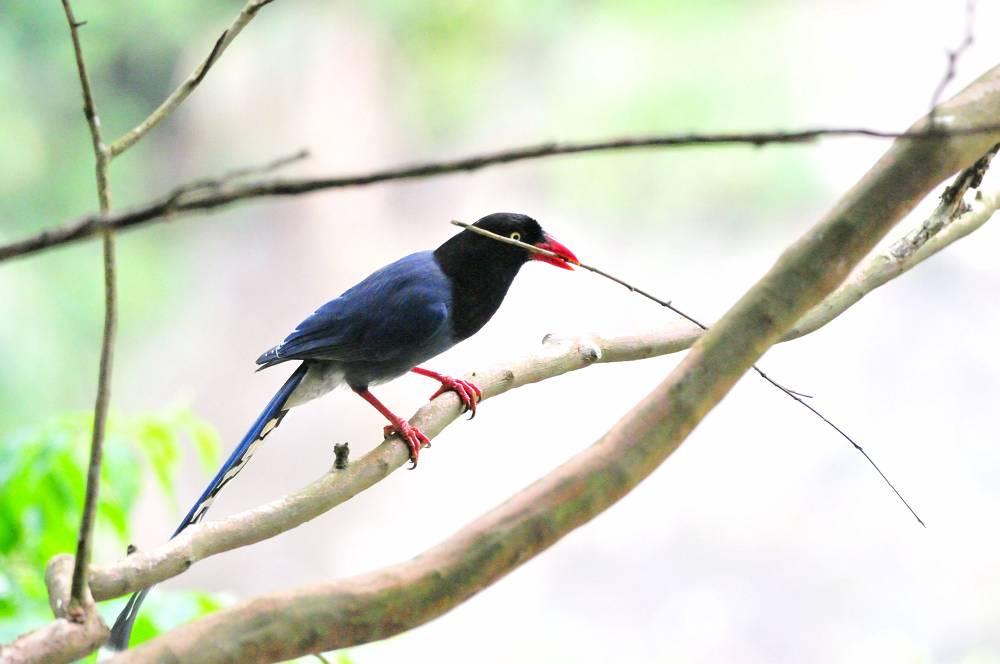 台湾の野鳥と言えば_a0143780_20202399.jpg
