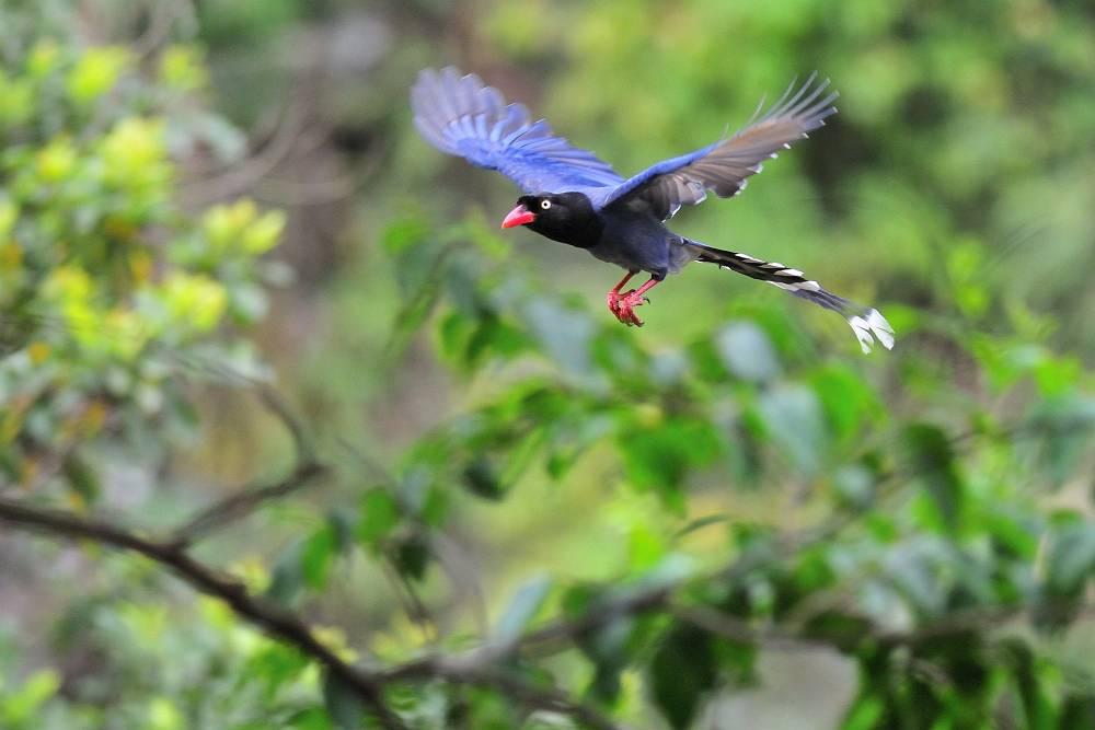 台湾の野鳥と言えば_a0143780_20213280.jpg