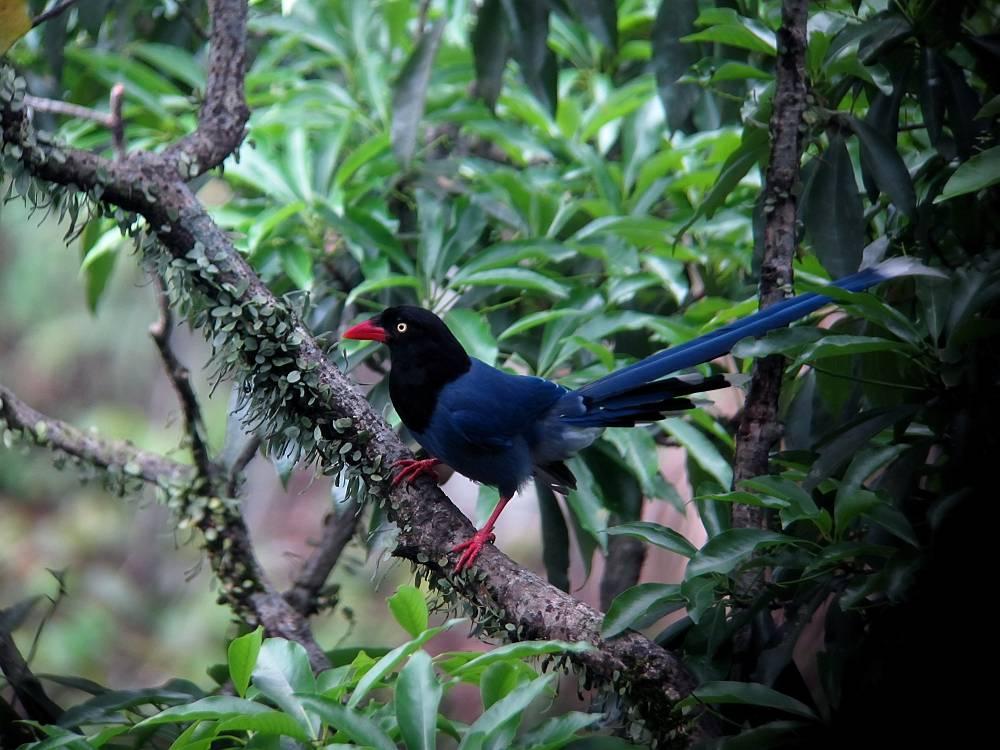 台湾の野鳥と言えば_a0143780_20214399.jpg