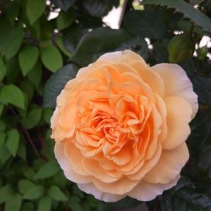 バラの季節_d0104091_1391164.jpg