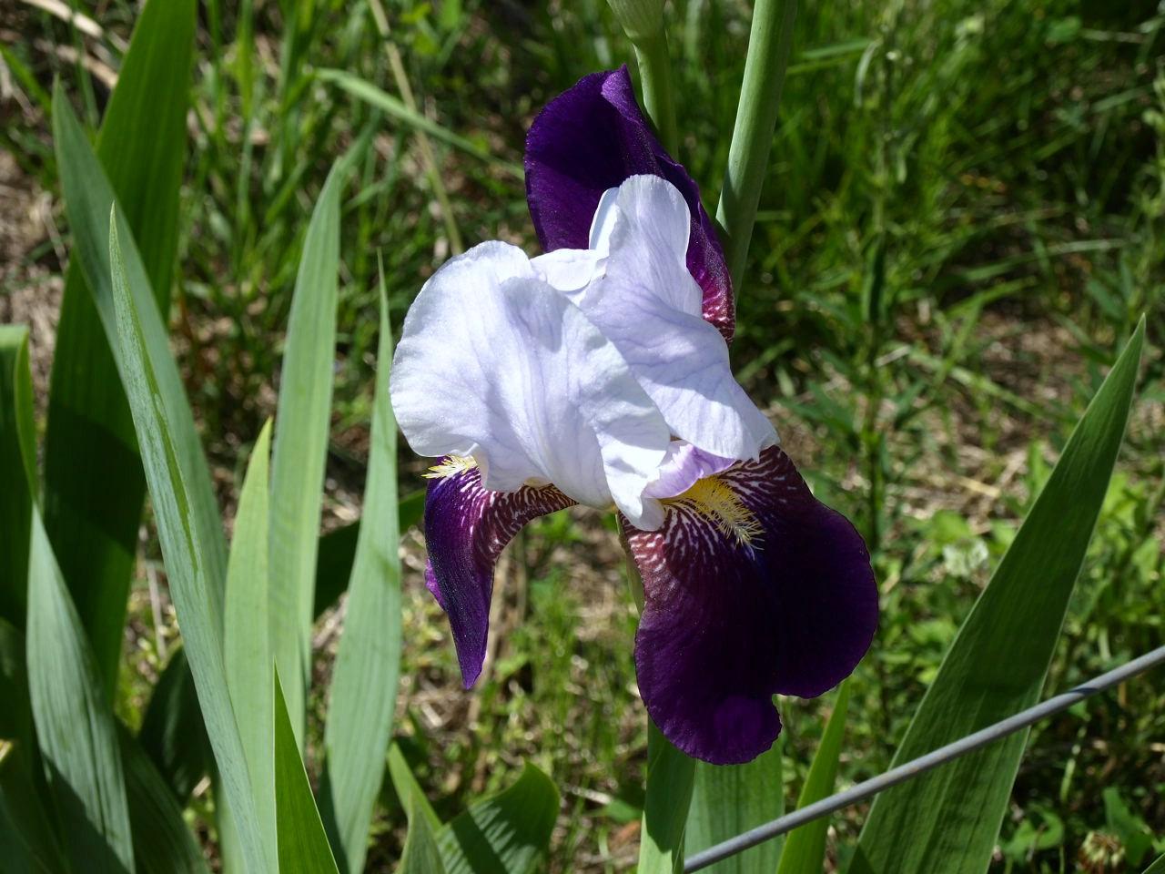 5月15日 ,卯の花_e0094102_15431971.jpg