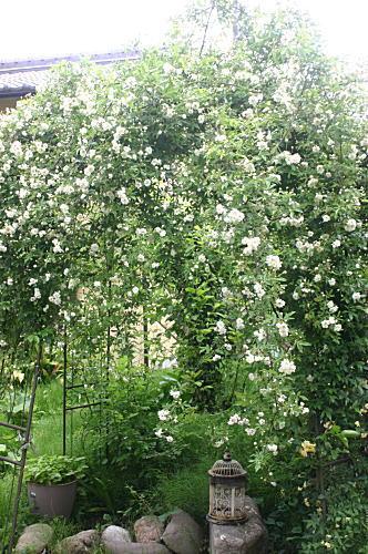 *バラが開花vv_d0034988_10113917.jpg