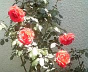 5/16(月)アロマカフェのお知らせ_e0115693_19563456.jpg