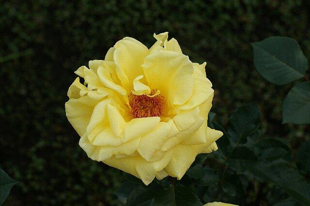 黄色でも種類いろいろ☆バラの花_a0122932_1329318.jpg