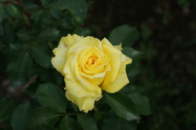 黄色でも種類いろいろ☆バラの花_a0122932_13301319.jpg