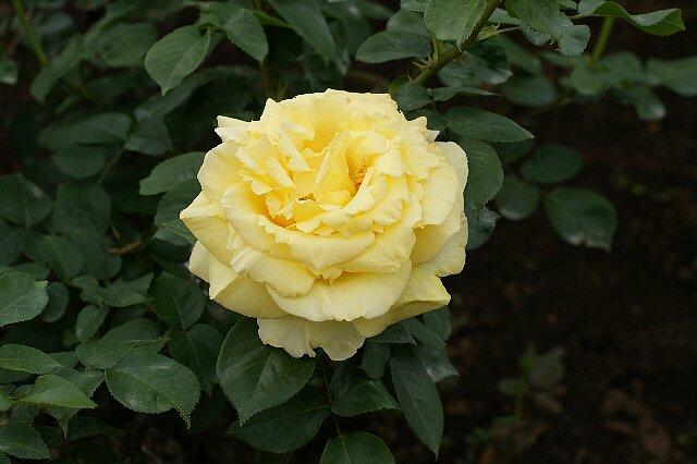 黄色でも種類いろいろ☆バラの花_a0122932_13305494.jpg