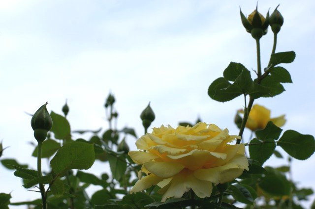 黄色でも種類いろいろ☆バラの花_a0122932_13313080.jpg