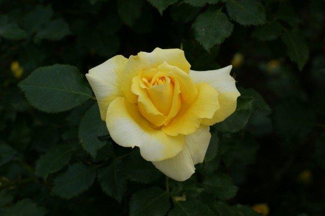 黄色でも種類いろいろ☆バラの花_a0122932_133213100.jpg
