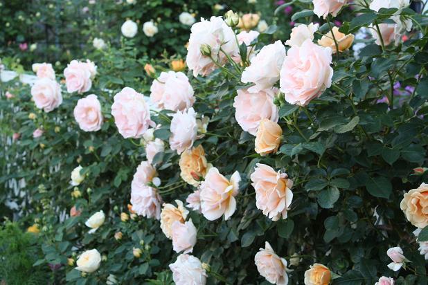 バラの季節_e0110038_21472175.jpg