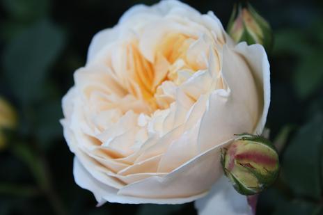 バラの季節_e0110038_21522628.jpg