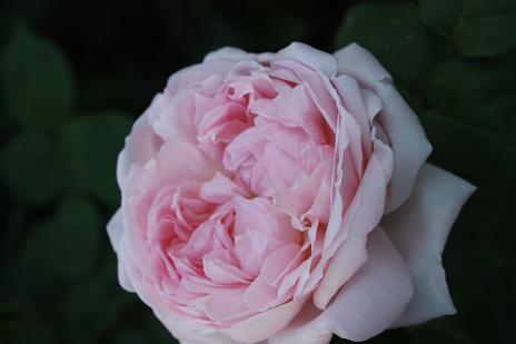バラの季節_e0110038_21525350.jpg