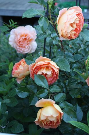 バラの季節_e0110038_2154245.jpg